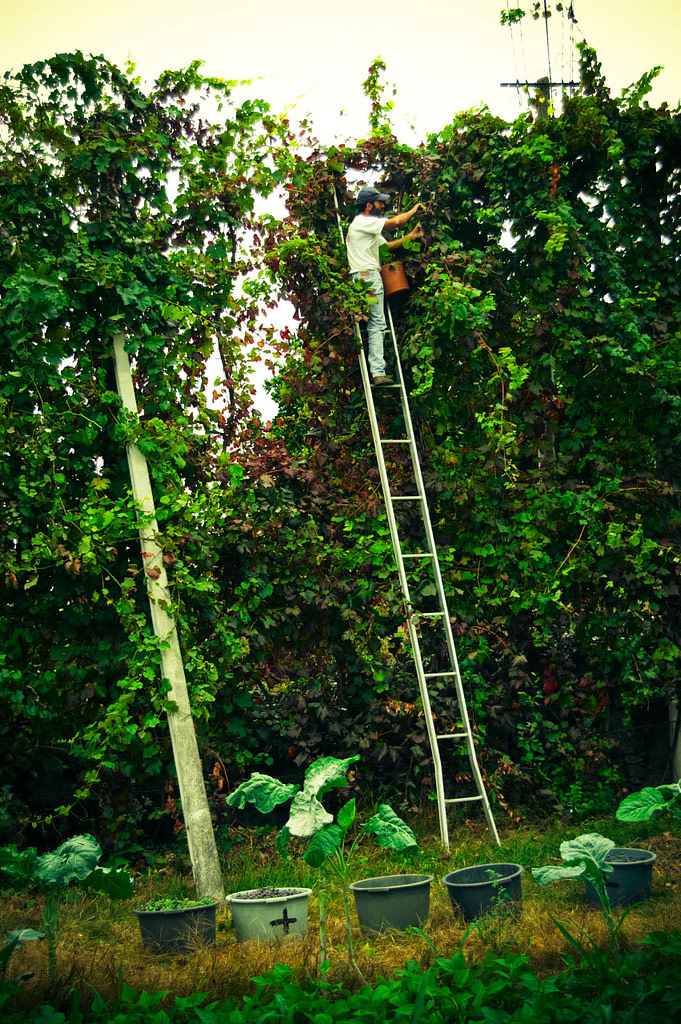 Vendanges dans la région du Vinho Verde