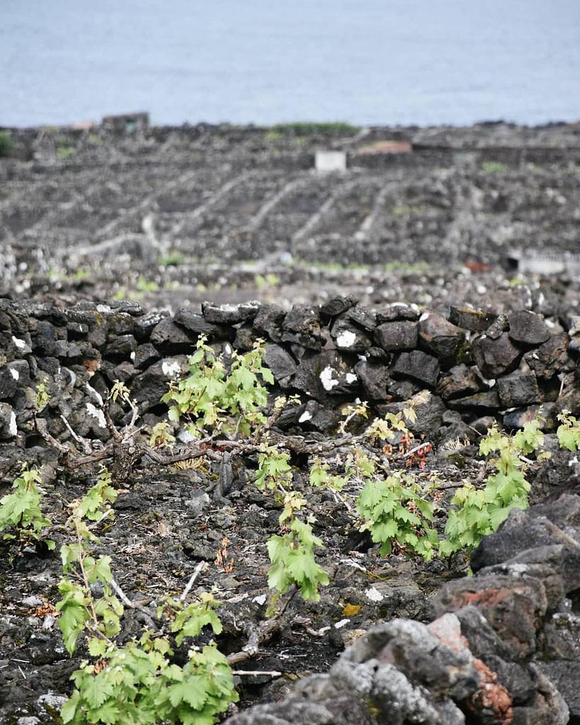 Le guides des vins portugais avec le vignoble de la coopérative Pico Wines de l'archipel des Açores