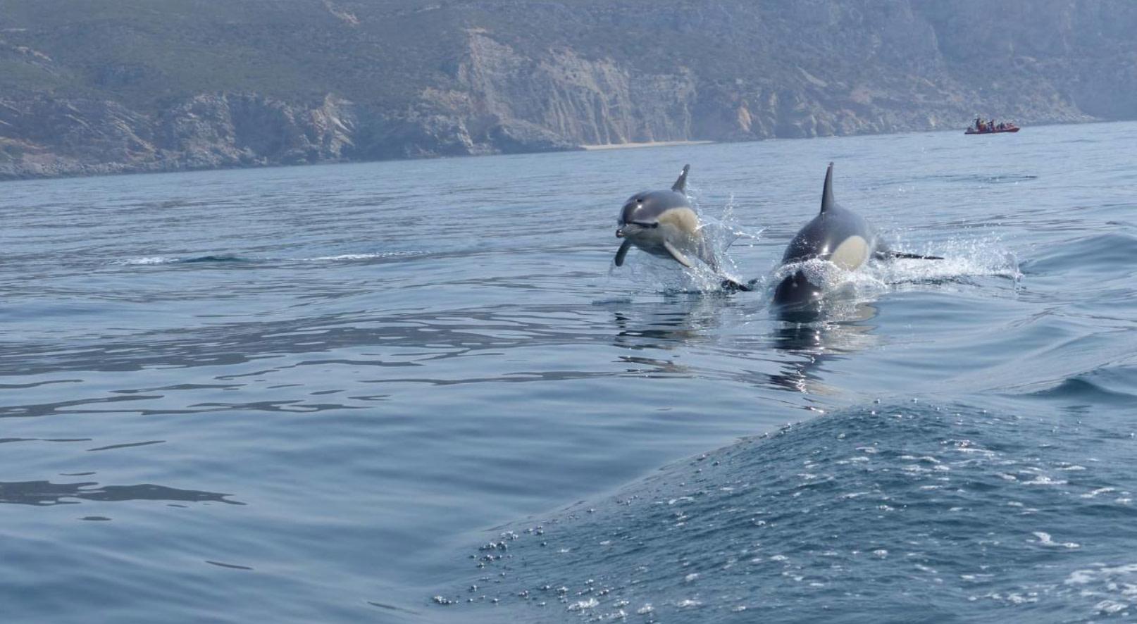 Observation des dauphins dans le parc naturel d'Arrábida